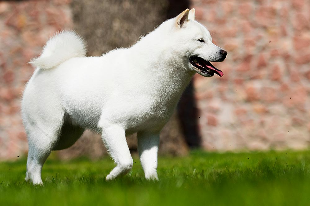 Hokkaido Ken chien japonais