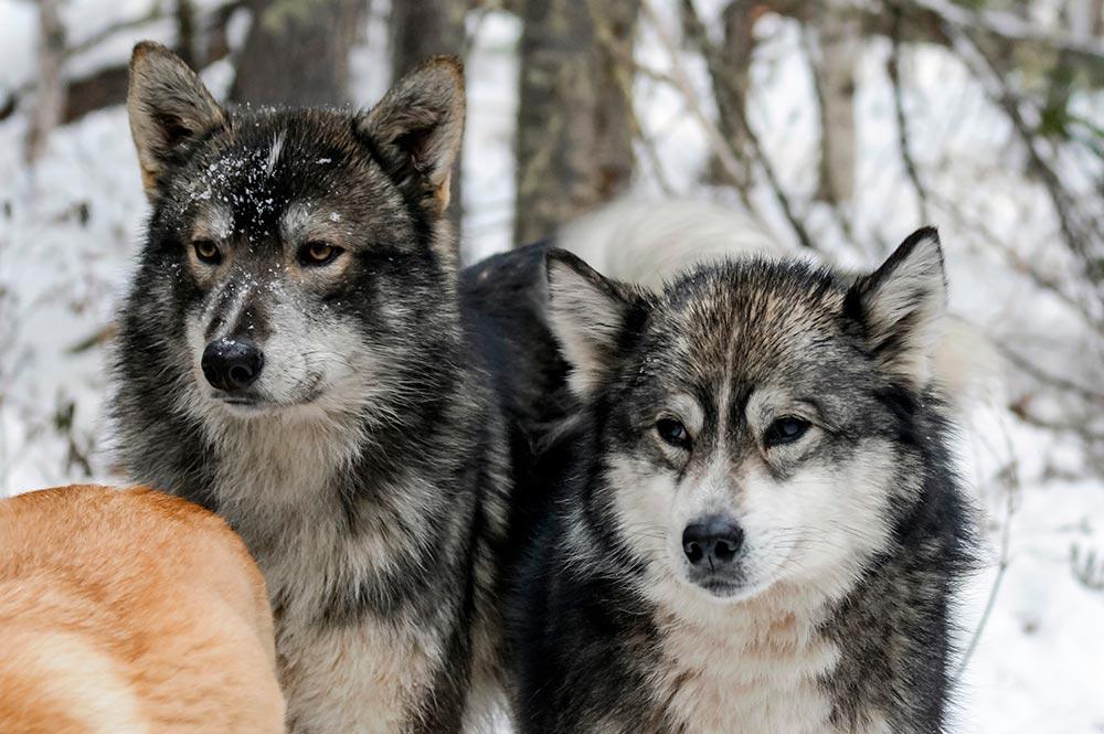 Husky de Sakhaline chien japonais