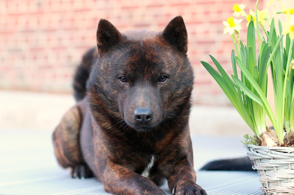 Kai Toraken chien japonais