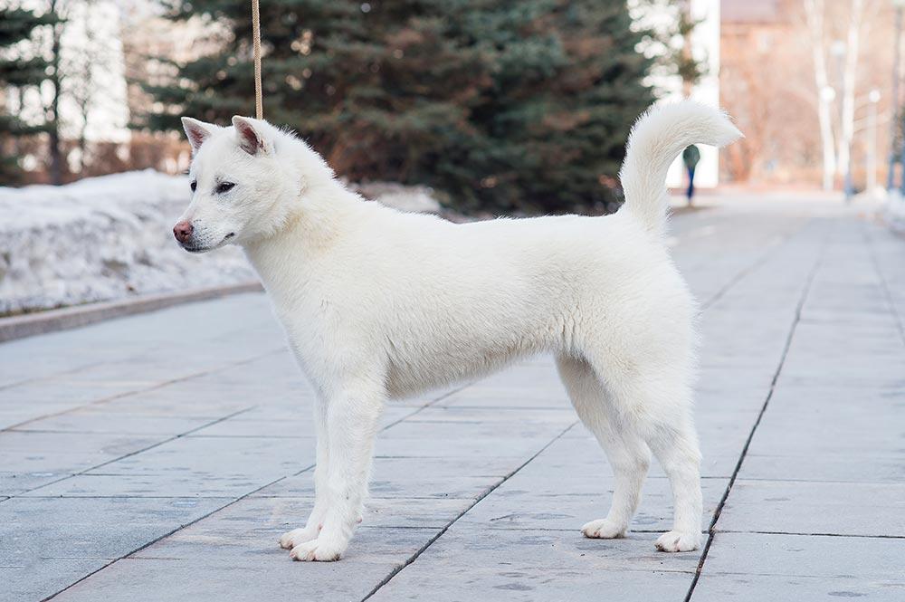 Kishu Inu chien japonais