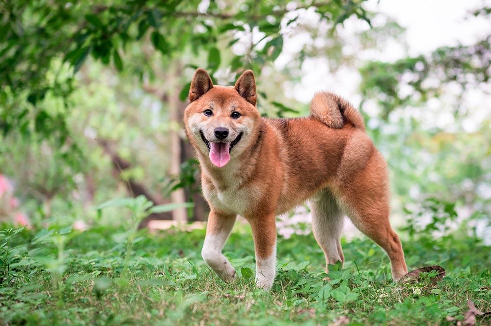 Shiba Inu chien japonais