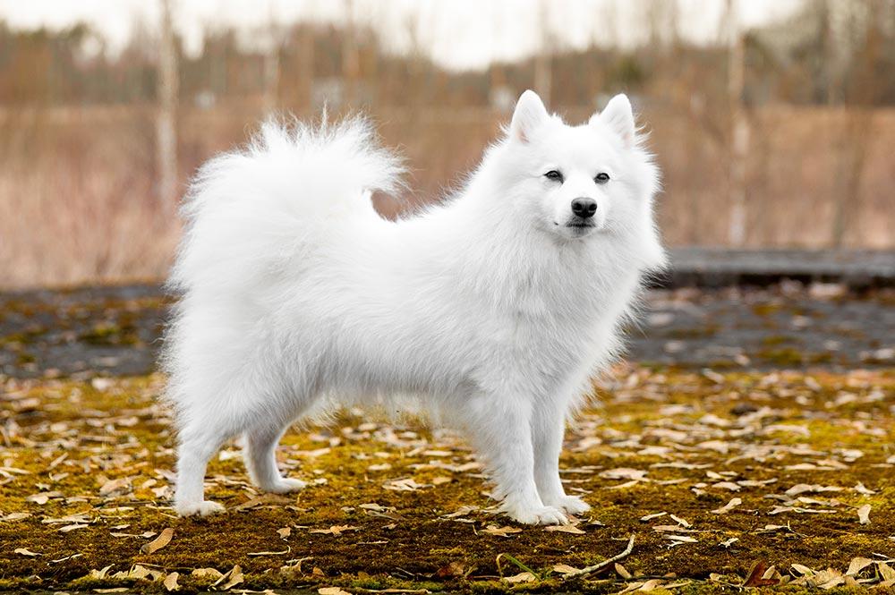 Spitz Japonais chien japonais