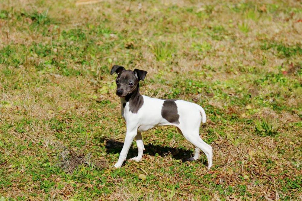 Terrier Japonais chien japonais
