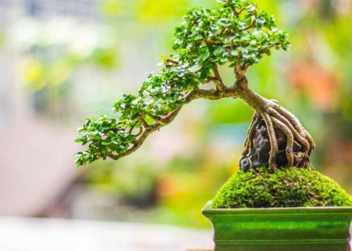 tout savoir bonsai